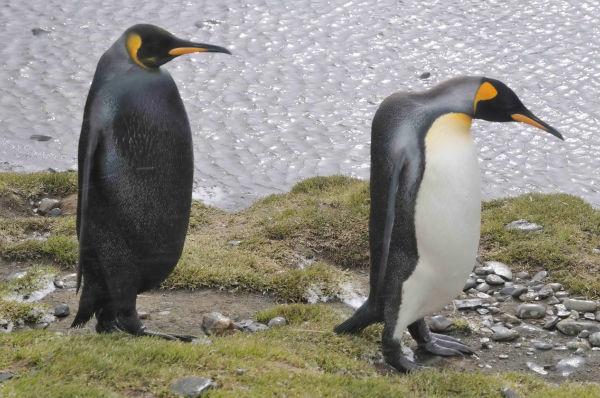 Melanistic-King-Penguin